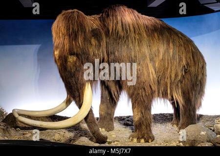 Copenhague, Dinamarca / Región Zelanda - 2017/07/26: El Museo de Historia Natural - Museo Zoológico - exposición de espécimen de mamut