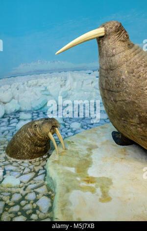 Copenhague, Dinamarca / Región Zelanda - 2017/07/26: El Museo de Historia Natural - Museo Zoológico - exposición de Morsa especímenes