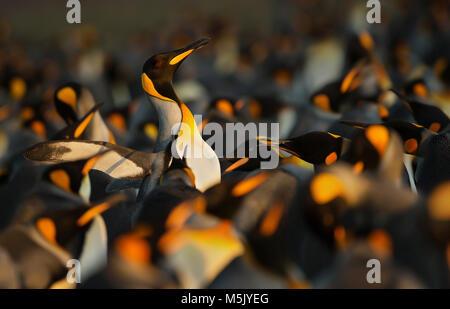 Pingüinos rey mostrando un comportamiento agresivo hacia otro pingüino rey durante la temporada de apareamiento, Islas Malvinas.