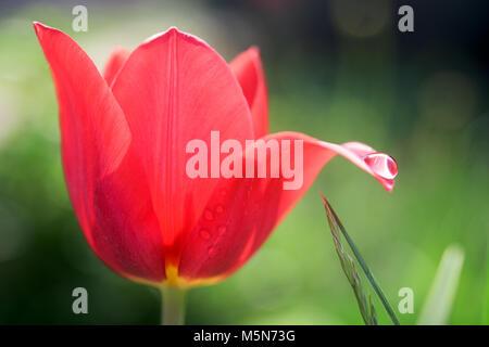 Tulipanes rojos con gota de agua sobre su pétalo en un jardín. Foto de stock