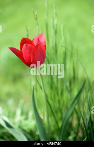 Hermoso color rojo tulipán en el patio delantero Foto de stock