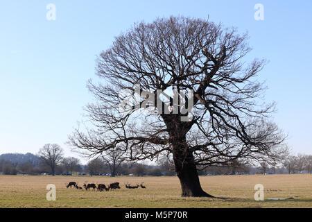 Windsor, Berkshire, Inglaterra. 25 de febrero de 2018. Una manada de ciervos pastan bajo un poderoso roble Inglés en Windsor Great Park en un día frío pero soleado en Berkshire. Crédito: Julia Gavin/Alamy Live News