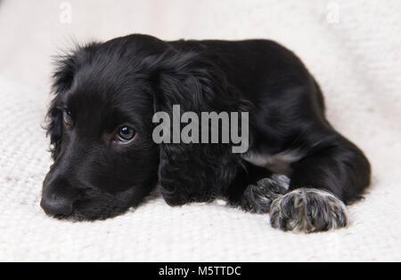 Un Cocker Spaniel Inglés cachorro.