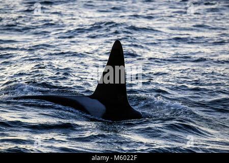 Killer Whale sobre la superficie del agua, Orcinus orca, Andfjorden, la isla de Andoya, Noruega