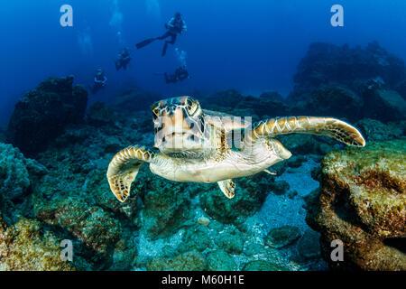 Tortugas marinas verdes, Chelonia mydas, isla Socorro, las Islas Revillagigedo, México Foto de stock