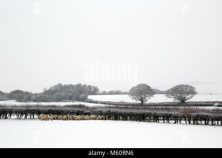 """Ashford, Kent. 27 Feb, 2018. El clima del REINO UNIDO: tormenta de nieve como parte de """"la bestia del Este' weather cubierta delantera del Reino Unido el 27 de febrero de 2018. Inyección de campos cubiertos de nieve y las ovejas se agrupaban fuera Brabourne Lees, cerca de Ashford en Kent, Reino Unido Crédito: Liz Granate/Alamy Live News"""