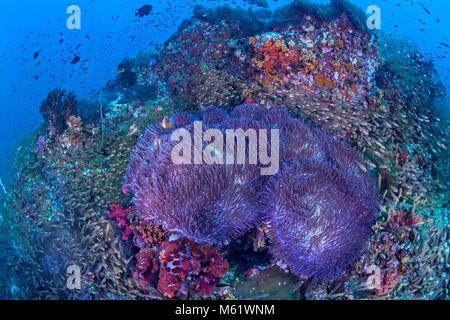 Glassfish se arremolinan alrededor de anémonas bioluminiscente cubriendo un arrecife de coral en Richelieu Rock en el Mar de Andaman en la costa de Tailandia. Foto de stock