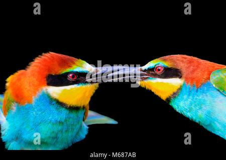 Beso de coloridas aves está aislado en un fondo negro
