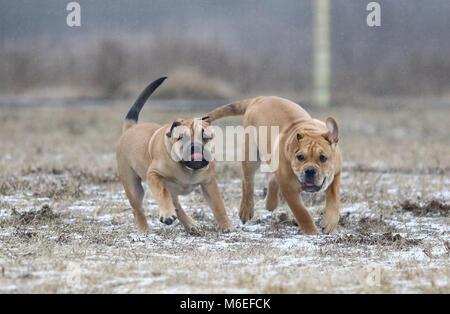 Dos brown tres meses ca de Bou (mallorquín Mastín) macho cachorro perros jugando al aire libre