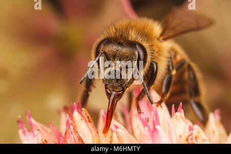 Miel de Abeja occidental, cerca de la fotografía macro