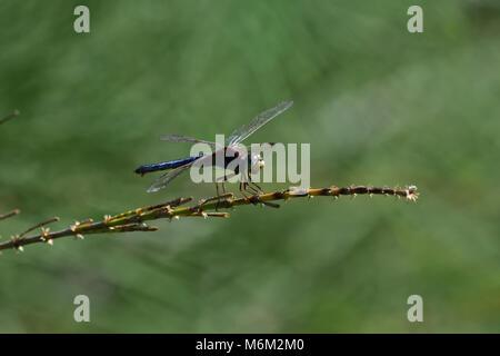 Un joven australiano macho negro-dirigido Skimmer Libélula descansando sobre una planta de tallo