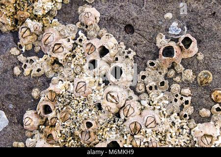 Percebes y conchas incrustadas en las rocas