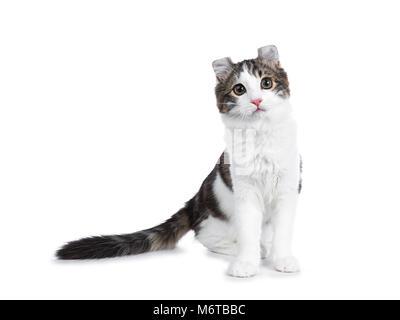 Atigrado negro con blanco American Curl cat / gatito de pie mirando hacia la cámara mirando curioso aislado sobre fondo blanco.