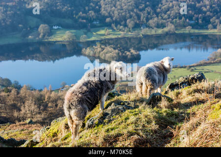 Ovejas Herdwick en Knoll al lado de Grasmere, Lake District National Park, Inglaterra