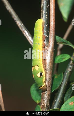 03029-010.16 Spicebush especie (Papilio Troilo) de Caterpillar (aestivale Spicebush Benzoína) Marion Co. IL Foto de stock