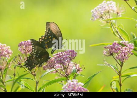 03029-01502 Spicebush especie mariposas (Papilio Troilo) masculino y femenino en el Pantano (Asclepias Asclepias Foto de stock