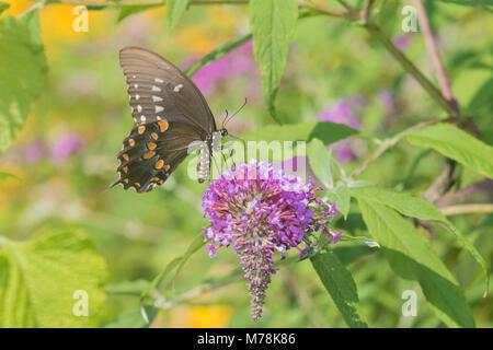 03029-01515 Spicebush especie (Papilio Troilo) en Butterfly Bush (Buddleja davidii) Marion Co. IL Foto de stock