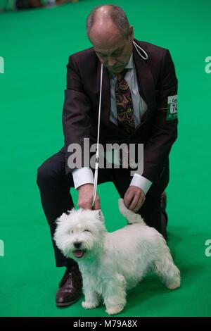 Un West Highland White Terrier, conocido comúnmente como el Westie, parece wink durante el juzgar las etapas en Foto de stock