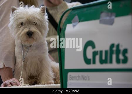 Un West Highland White Terrier, conocido comúnmente como el Westie, durante el segundo día de Crufts 2018 en el NEC en Birmingham.