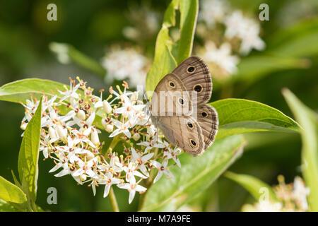 Poco Wood-Satyr 03493-00208 (cymela Megisto) en pantano Cornejo (Cornus racemosa) Reynolds Co. MO Foto de stock