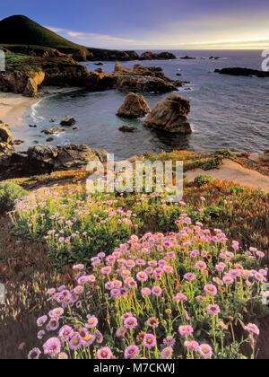 Seaside Margaritas, Erigeron glaucus, Garrapata State Park, Big Sur, el Condado de Monterey, California