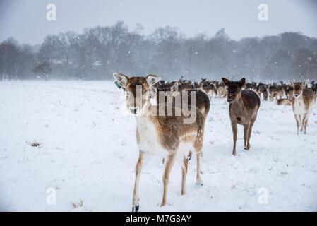 Ciervos en la nieve Foto de stock