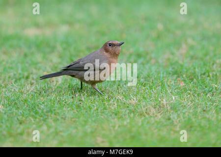 Un adulto Chat (Oenanthe Roca marrón fusca) pájaro posado en un jardín en Nawalgarh, Rajasthan, India Foto de stock