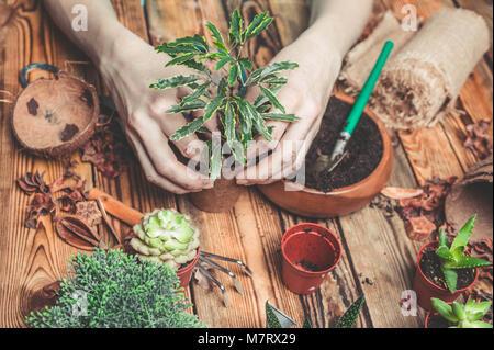 La floristería detrás de trabajo. Las manos de la floristería sustituir una planta en un recipiente nuevo. Suculentas y cactus en una mesa de madera
