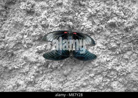 El apareamiento de mariposas. Dos mariposas en muro de hormigón. Papilio polytes. Mariposa Mormón