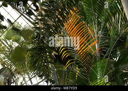 Variedad de palmeras y otras plantas tropicales pueden ser vistos en la época victoriana Lincoln Park Conservatory