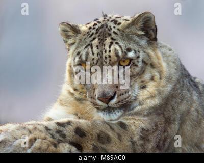 Retrato de leopardo de nieve cautivo o onza Panthera uncia