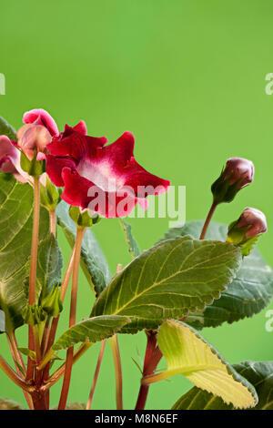 Rojo sobre verde flores interiores gloxinia cerca