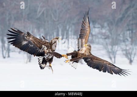 Steenarenden vechtend in de sneeuw, Águilas luchando en la nieve.