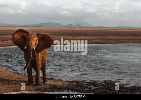 Un africano Elefante rojo mientras mirando el objetivo cerca de una cuenca en Tsavo park en Kenya, Africa.