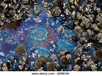 0603-1037 Copyright George H.H. Huey  Piscina de marea con California Bellota mejillones, percebes, erizos de mar, ocre seastar y anémonas de mar. Santa Barb