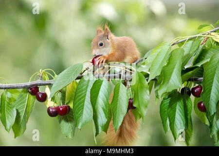 Unión ardilla roja (Sciurus vulgaris). Adulto comiendo una cereza en un cerezo. Alemania