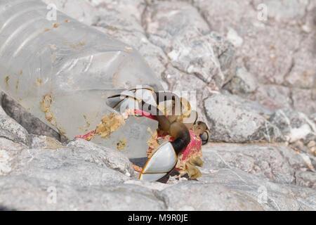 Percebes conectado a una botella de plástico se lavan en las rocas en la cabeza, los gusanos Gower, Wales