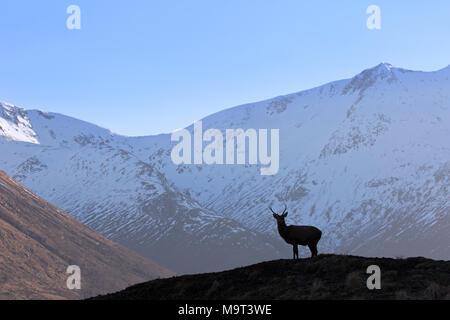 Silueta de ciervo rojo / macho de ciervo colorado (Cervus elaphus) en páramos en las montañas en el invierno en las Tierras Altas de Escocia, Scotland, Reino Unido Foto de stock