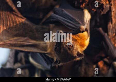 Bat colgando del árbol al revés, con la luz del atardecer.