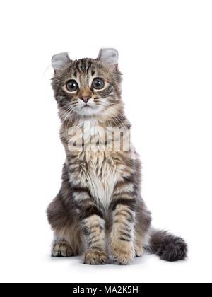 Black tortie tabby American Curl cat / gatito sentado aislado sobre fondo blanco.