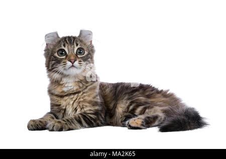 Black tortie tabby American Curl cat / gatito se fijan e mirando hacia los lados aislado sobre fondo blanco.