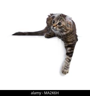 Black tortie tabby American Curl cat / gatito, por el que se establecen con la pata encima del borde lateral buscando maneras aislado sobre fondo blanco.