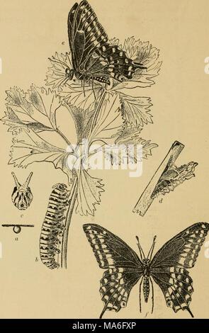 . La Entomología elementales . Fig. 263. La especie {Papilio polyxenes mariposas). (Ligeramente reducido) rt, huevo; B, caterpillar; c, vista frontal de la cabeza con osmateria sobresalía; d, chrysalis; e,f, adulto. (Después de Webster) 176