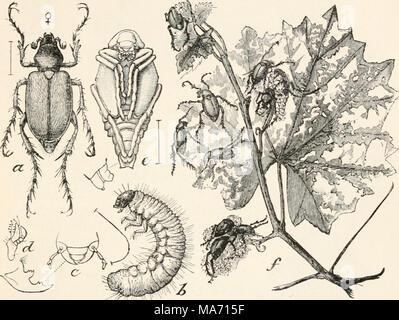 Gusanos blancos son las larvas de escarabajos del género ...