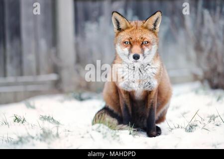 Close-up de un zorro rojo en la nieve, el invierno en el Reino Unido.