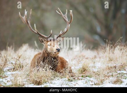 Cierre de un ciervo ciervo tumbado sobre una nieve en invierno, Reino Unido. Foto de stock