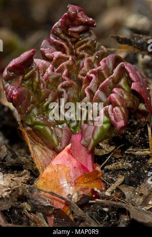El ruibarbo que emergen de la tierra a principios de la primavera