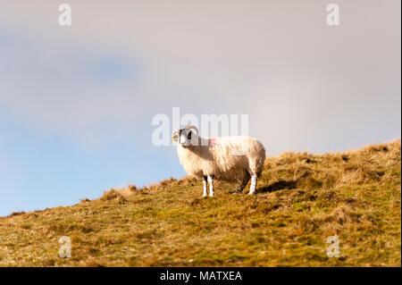 Una oveja solitaria se alza sobre una colina en el sol de invierno