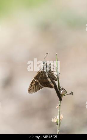 """Longtail"" Teleus Skipper (Urbanus teleus) encaramado en un tallo floral Foto de stock"