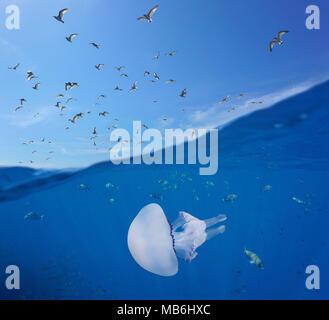 Mediterráneo gaviotas volando en el cielo, y los peces con un barril de medusas mar subacuáticos, vista dividida por encima y por debajo de la superficie del agua, España, Costa Brava